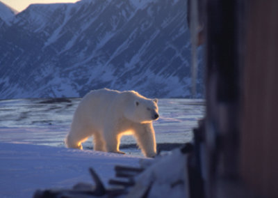 Polar Bear at Bamsebu