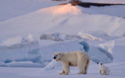Isbjørnungen