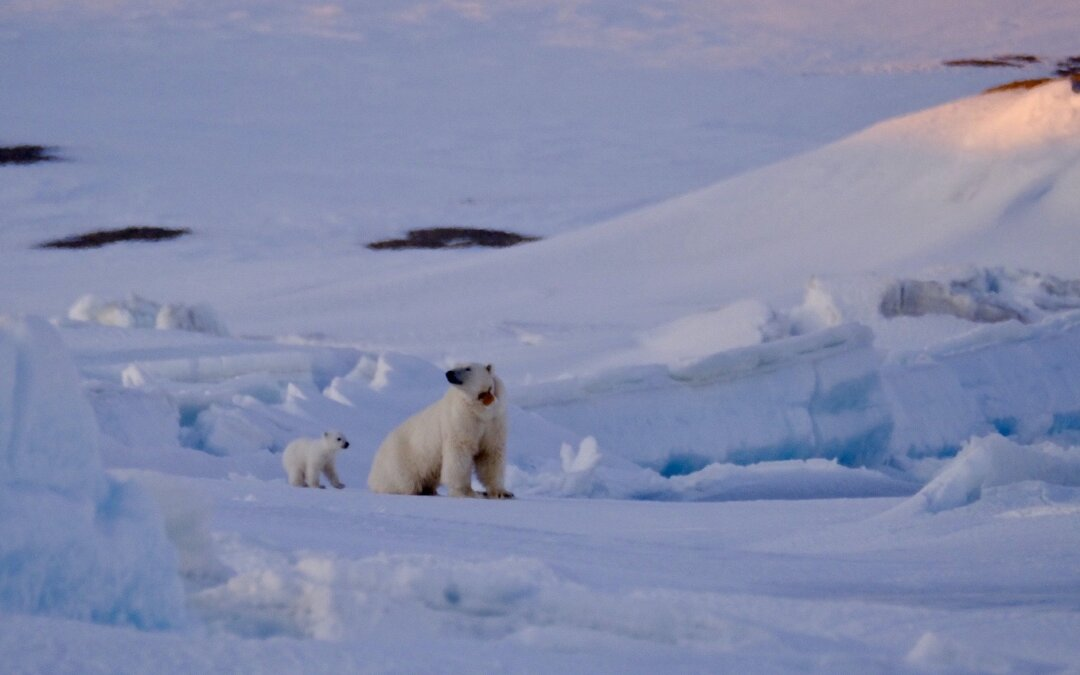 4 isbjørner og en isbjørnbæsj