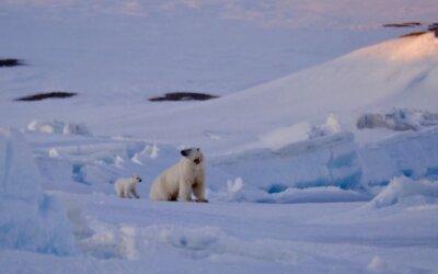4 Polar Bear visits and a Polar Bear poop